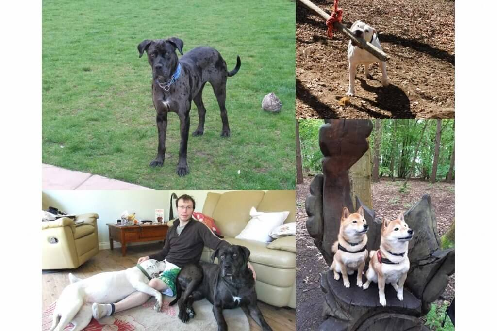 Dog walker with his dogs past and present, featured include the dog walker with an american bulldog and mastiff cross. These dogs also feature by themselves, addtionally there is a picture of 2 red Shiba Inu